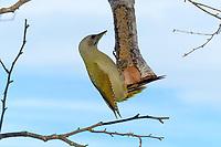 Grauspecht, Weibchen an der Vogelfütterung, Grau-Specht, Erdspecht, Erdspechte, Picus canus, grey-headed woodpecker, grey-faced woodpecker, female, Le Pic cendré