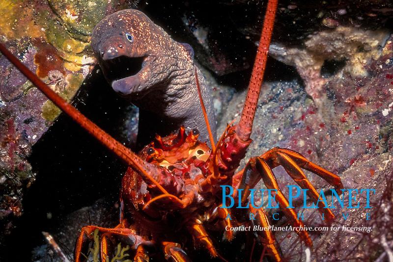 Pacific Ocean spiny lobster, Panulirus interruptus, and moray eel, Gymnothorax sp., San Benitos Islands, Baja, California, Mexico, Pacific Ocean