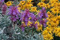 Purple sage and linear-leaf daisy<br /> Highway 243 near Wanapum Lake<br /> Bureau of Reclamation Lands<br /> Grant County,  Washington