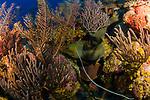 Colorful Reef Scenic w Moray Eel, Cuba Underwater, Gardens of the Queen, Cuba Underwater, Jardines de la Reina, Protected Marine park underwater, pretty soft corals