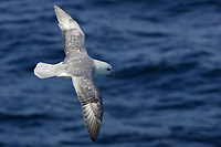Northern Fulmar Fulmarus glacialis gliding over sea Spitsbergen Arctic Norway North Atlantic