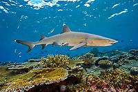 whitetip reef shark, Triaenodon obesus, with remora, Echeneis naucrates, swimming over hard coral reef, Beqa Lagoon, Fiji, South Pacific Ocean