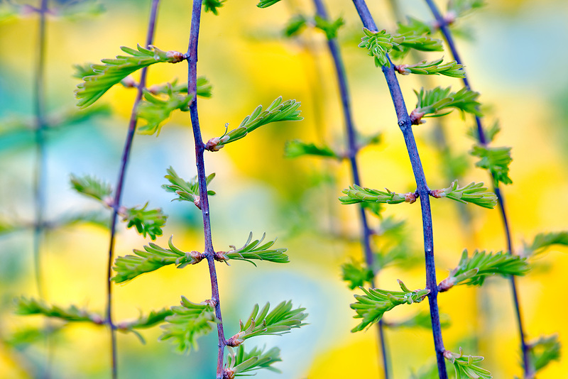 Miss Grace Dawn Redwood tree (Metasequoa glyptostrobides). Oregon