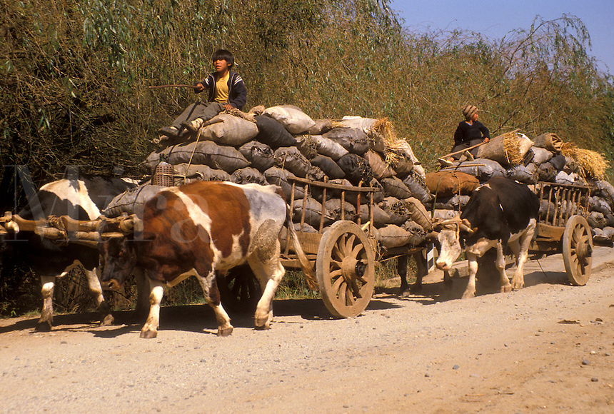 AJ2118, oxen, Chile, Mapuches Indians drive their teams of oxen pulling wooden carts with bags of handmade charcoal down the dirt road of Cholchol in the South-Central Region (Land of Lakes and Volcanoes) in Chile.