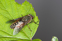 Bremse, Pferdefliege, Hybomitra distinguenda, Hybomitra contigua, Therioplectes parvus, Therioplectes rufus, Bright Horsefly, Horsefly, Horse-fly, Bremsen, Tabanidae, Horseflies, Horse-flies