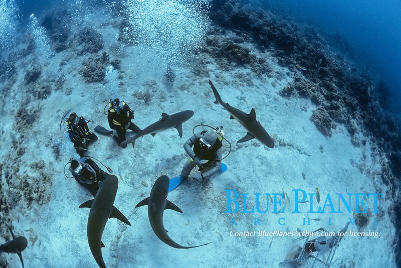 Shark handlers feed Caribbean Reef Shark (Carcharhinus perezii). Bahamas, Caribbean Sea.