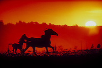 Mother horse and foal run at sunset in silhouette