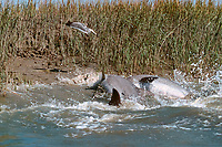 mullet, Mugil sp., leap into the air to escape as strand-feeding bottlenose dolphins, Tursiops truncatus, lunge onto the bank of a salt marsh, South Carolina, USA, Atlantic Ocean (2 of 3)