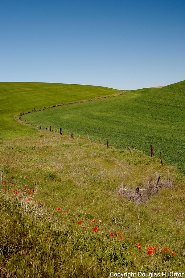 Fence line and poppies along a farm road off the Palouse Scenic Byway, near Colfax, WA