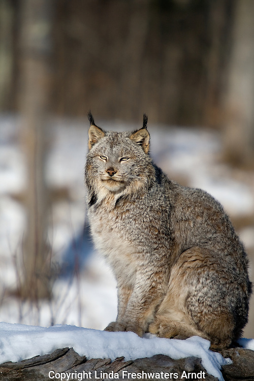 Canada lynx (Lynx canadensis) sitting on a snow-covered log