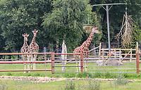 Giraffen - Jaderberg 21.07.2020: Tier- und Freizeitpark Jaderpark