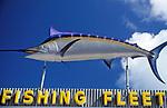 USA, Florida Keys, Blue Marlin (Traum aller Hochsee Angler)   USA, Florida Keys, Blue Marlin
