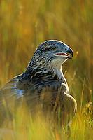 Ferruginous hawk (Buteo regalis), Western U.S.