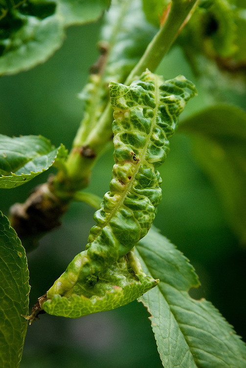 Green or black aphids feeding on sap on the undersides of peach leaves causes them to curl up, become misshapen, and turn yellow-green. Foliage may be sticky with honeydew, too.