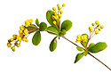 Barberry (Berberis vulgaris) photographed on a white background in mobile field studio.