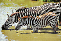 Zebras (Equus quagga) with young, drinking at a watering hole, Serengeti, Tanzania, Africa