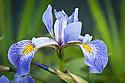 Iris laevigata 'Weymouth Blue', late May.