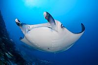 reef manta ray, Mobula alfredi, Gan, Maradhoo, Addu Atoll, Maldives, Laccadive Sea or Lakshadweep Sea, Indian Ocean