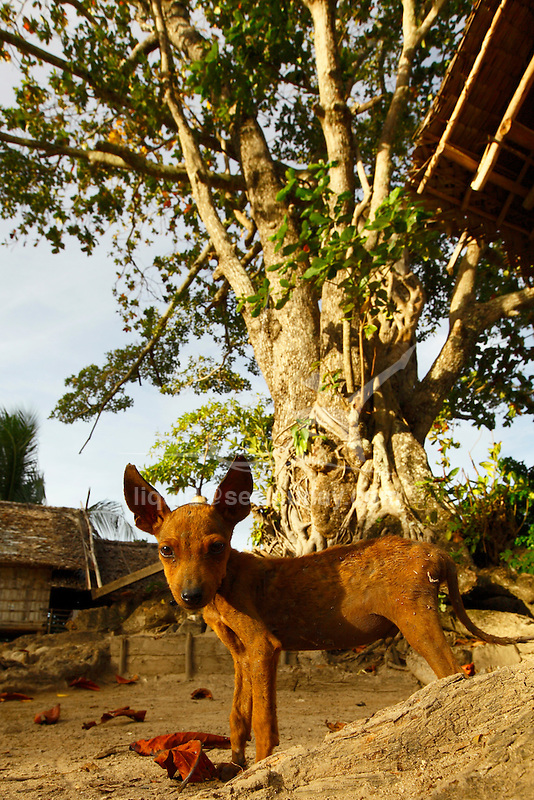 Dog in  the village of Hessessai Bay at PanaTinai (Panatinane)island in the Louisiade Archipelago in Milne Bay Province, Papua New Guinea.  The island has an area of 78 km2..The Louisiade Archipelago is a string of ten larger volcanic islands frequently fringed by coral reefs, and 90 smaller coral islands located 200 km southeast of New Guinea, stretching over more than 160 km and spread over an ocean area of 26,000 km? between the Solomon Sea to the north and the Coral Sea to the south. The aggregate land area of the islands is about 1,790 km? (690 square miles), with Vanatinai (formerly Sudest or Tagula as named by European claimants on Western maps) being the largest..Sideia Island and Basilaki Island lie closest to New Guinea, while Misima, Vanatinai, and Rossel islands lie further east..The archipelago is divided into the Local Level Government (LLG) areas Louisiade Rural (western part, with Misima), and Yaleyamba (western part, with Rossell and Tagula islands. The LLG areas are part of Samarai-Murua District district of Milne Bay. The seat of the Louisiade Rural LLG is Bwagaoia on Misima Island, the population center of the archipelago.PanaTinai (Panatinane) is an island in the Louisiade Archipelago in Milne Bay Province, Papua New Guinea. The island has an area of 78 km2..The Louisiade Archipelago is a string of ten larger volcanic islands frequently fringed by coral reefs, and 90 smaller coral islands located 200 km southeast of New Guinea, stretching over more than 160 km and spread over an ocean area of 26,000 km? between the Solomon Sea to the north and the Coral Sea to the south. The aggregate land area of the islands is about 1,790 km? (690 square miles), with Vanatinai (formerly Sudest or Tagula as named by European claimants on Western maps) being the largest..Sideia Island and Basilaki Island lie closest to New Guinea, while Misima, Vanatinai, and Rossel islands lie further east..The archipelago is divided into the Local Level Government (LLG) areas