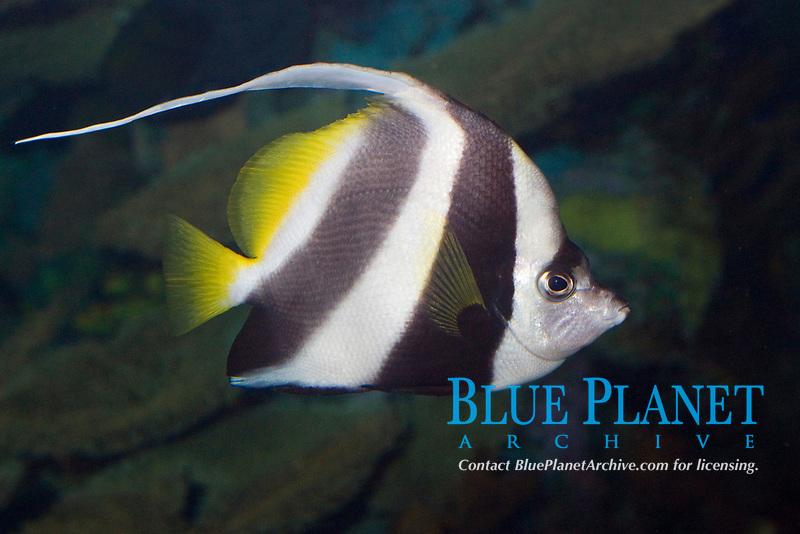 Pennant Coral Fish ( Heniochus acuminatus ) ( c ) Range: Indo-Pacific Ocean
