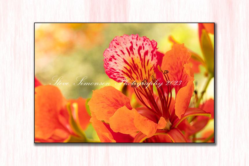 Flamboyant Flower<br /> St. John<br /> US Virgin Islands