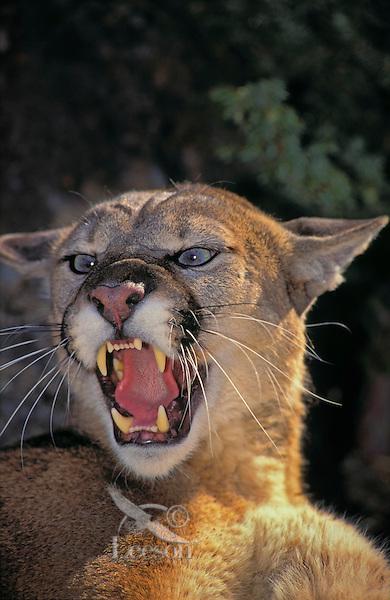 COUGAR ( Felis concolor) threat display.  Rocky Mountains.
