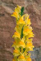 Butter-and-eggs<br /> Rim Rock Drive<br /> Colorado National Monument<br /> Colorado Plateau,  Colorado