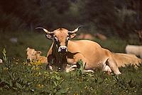 Europe/France/Auvergne/12/Aveyron/Laguiole: Vaches (race Aubrac) en pâturage