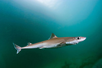 shortnose spurdog, piked spurdog, spiny spurdog, shortnose spiny dogfish, or dogshark, Squalus megalops, Victoria, Australia (do, c-r)