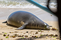 APR 26 Hawaiian Monk Seal, Kaiwi, gives birth on beach in Waikiki, HI