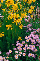 Showy daisy, giant hyssop and northern mules-ears<br /> Horse Ranch Park,  Ruby Range<br /> Gunnison National Forest<br /> Rocky Mountains,  Colorado