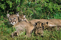 Mountain Lion or Cougar mom with young cubs, Western North America.