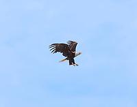 Bald eagle in flight preparing for a high perch landing.