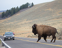 A bull bison crosses the road in the Lamar Valley.