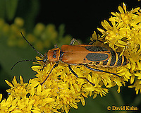 0910-06tt  Goldenrod Soldier Beetles - Chauliognathus pennsylvanicus - © David Kuhn/Dwight Kuhn Photography