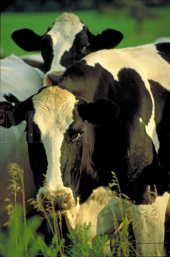 Matanuska valley dairy cows. Alaska USA Matanuska Valley.