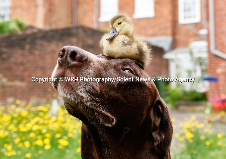"""Pictured:  The duckling sat on the head of Meg the dog.<br /> <br /> BIRD BRAIN.....A duckling sits on top of a dog in a cute series of images showing the pair out enjoying the sunny weather in Winchester, Hants.<br /> <br /> The German pointer called Meg has become used to the duckling's presence after her owner spotted an abandoned egg close to a path while out walking.  Will Hall from Wincheter took it home to keep it warm where he was able to hatch the duckling.<br /> <br /> Will, Meg's owner said: """"I'm thrilled that the dog and the duckling are getting along. To start with Meg was scared of the duckling and would just run away as soon as it came near her. So the fact that she is now letting it be around her is a big relief.  She would never go for it, or attack it in anyway.""""<br /> <br /> Please byline: WRH Photography/Solent News<br /> <br /> © WRH Photography/Solent News & Photo Agency<br /> UK +44 (0) 2380 458800"""