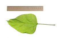Gewöhnlicher Trompetenbaum, Catalpa bignonioides, southern catalpa, cigartree, Indian-bean-tree, Arbre aux haricots, Catalpa boule, Catalpa commun. Blatt, Blätter, leaf, leaves