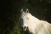 Parana, Brazil. White stallion horse.
