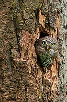 Northern Pygmy-Owl (Glaucidium gnoma) exiting nest cavity. Multnomah County, Oregon.