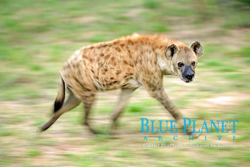 Spotted Hyena (Crocuta crocuta), running adult, Kruger National Park, South Africa, Africa