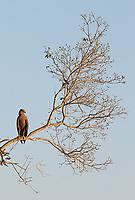 The Savanna hawk was one of many raptors seen in western Brazil.