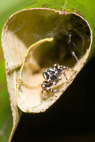 Jumping Spider (Pelegrina proterva) - Male looking for prey on a leaf, West Harrison, Westchester County, New York