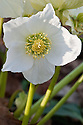 Hellebore, (Helleborus niger 'HGC Josef Lemper'). HGC stands for Helleborus Gold Collection®, hellebores bred by Heuger-Blumen® of Germany.