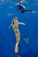 oceanic whitetip sharks, Carcharhinus longimanus, with scuba diver, Columbus Point, Cat Island, Bahamas, Caribbean Sea, Atlantic Ocean