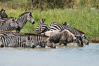 Grant's Zebras, Equus quagga boehmi, and a Wildebeest, Connochaetes taurinus, drink from a pond in Tarangire National Park, Tanzania