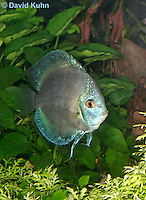 0116-0903  Blue Discus (Blue Turquoise Discus), Symphysodon aequifasciata  © David Kuhn/Dwight Kuhn Photography
