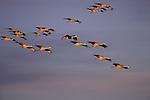 Sandhill Cranes  (Grus canadensis) Platte River, NE