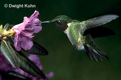 HU01-010z  Ruby-throated Hummingbird - drinking nectar from rhododendron flower as it hovers in air -  Archilochus colubris