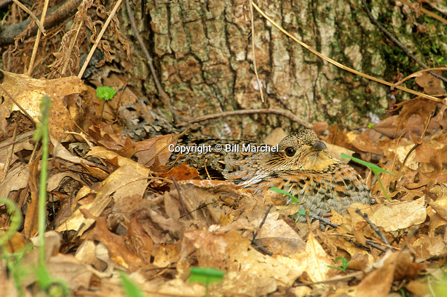 00515-042.13 Ruffed Grouse hen shows remarkable cryptic coloration as she sits on nest at base of tree.